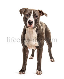 Standing American Staffordshire, isolated on white