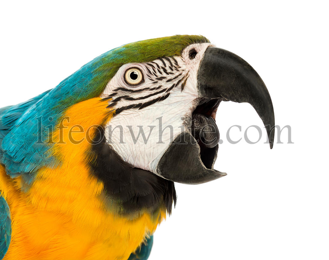 Close-up of a Blue-and-yellow Macaw, Ara ararauna, 30 years old, with its beak open in front of white background