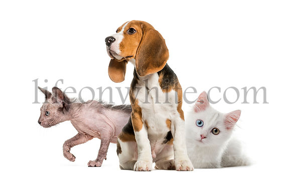 Young Beagle sitting, White kitten, Kitten Lykoi cat, in front of white background