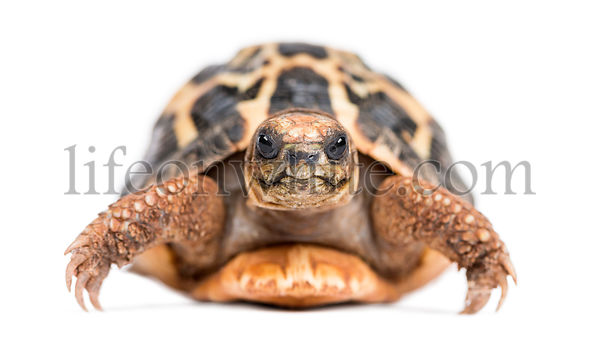 Front view of a Spider Tortoise, Pyxis arachnoides, isolated on white