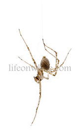 Cardinal spider, Tegenaria parietina, hanging from it\\'s thread in front of white background