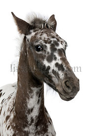 Close-up of a Crossbreed Foal between a Appaloosa and a Friesian horse, 3 months old, standing in front of white background