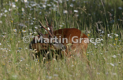 Roe Deer buck (Capreolus capreolus) grooming himself in late afternoon sunlight in a South Lakeland grazing meadow with promi...