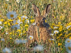 Brown Hare, Lepus europaeus in meadow of Oxeye Daisies, North Norfolk, June