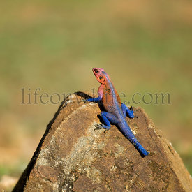 Red-headed Rock Agama or Common Agama, Agama agama