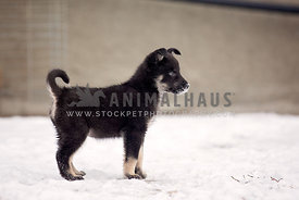 A young puppy standing in the snow