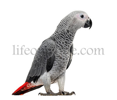 African Grey Parrot (3 months old) isolated on white