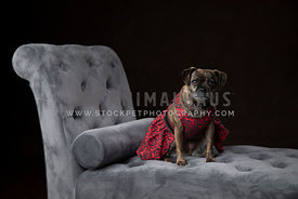 Small Brindle Pug Mix Wearing Red Flower Dress Sitting on Gray Chaise