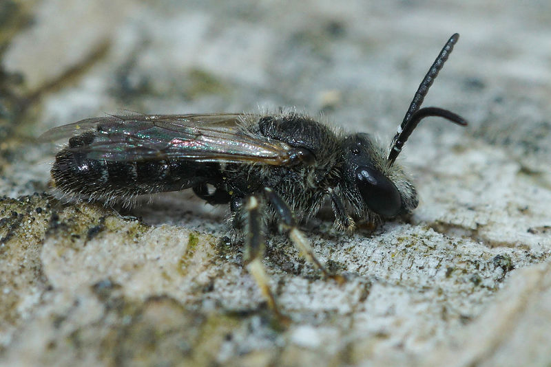 Lasioglossum species, male