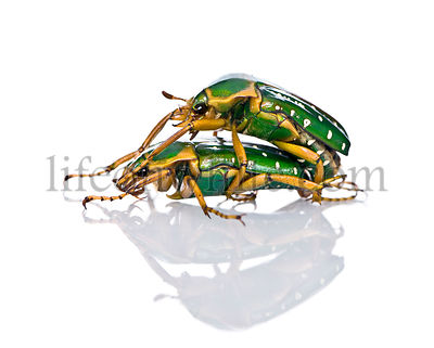 East Africa flower beetles having sex, Stephanorrhina guttata, in front of white background, studio shot