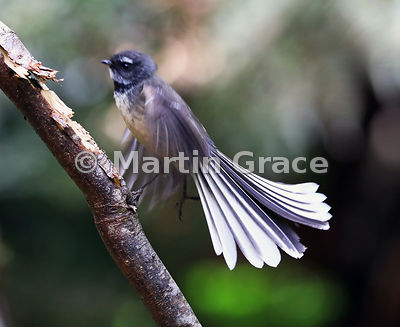 South Island subspecies of New Zealand Fantail (Rhipidura fuliginosa ssp fuliginosa) fanning its tail as it takes off; consid...