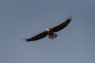 Bald eagle over Camelot