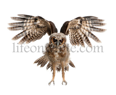 Portrait of Brown Wood Owl, Strix leptogrammica, flying in front of white background, six months old