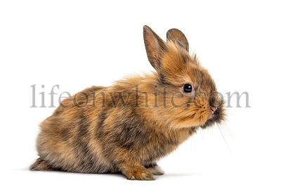 Brown small rabbit isolated on white