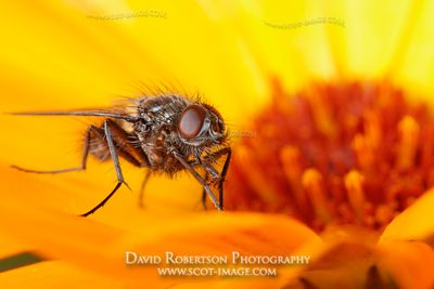 Image - Fly on a Marigold flower