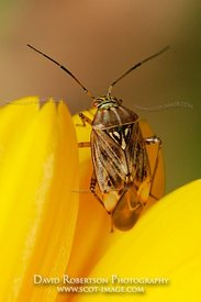 Image - Plant Bug, Marigold flower, either a Capsid or Mirid bug