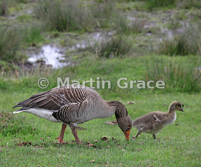 Adult Greylag Goose (Anser anser) (sharp) supervising one of its goslings (not sharp) as they both feed and drink by a small ...