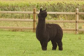 Full body shot of a black hairy Alpaca , Vicugna pacos on grass