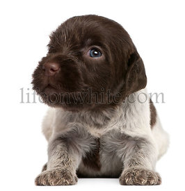 Wirehaired Pointing Griffon puppy, 1 month old, in front of white background