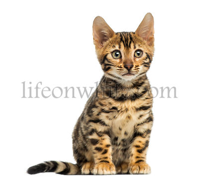 Front view of a Bengal kitten sitting, 3 months old, isolated on white