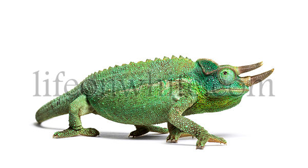 Side view of a Jackson's horned chameleon walking, Trioceros jacksonii, isolated on white looking at camera against white bac...