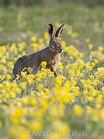 European Hare Lepus europaeus among Cowslips in spring North Norfolk May
