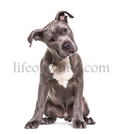American Staffordshire Terrier puppy, 4 months old, sitting against white background