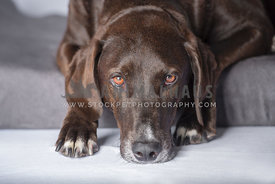 close up head shot of chocolate lab laying down