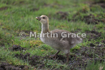 Greylag gosling (Anser anser) standing in a muddy area in a wet meadow, Badenoch & Strathspey, Highlands of Scotland