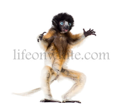 Soa, 4 months old, Crowned Sifaka standing against white background