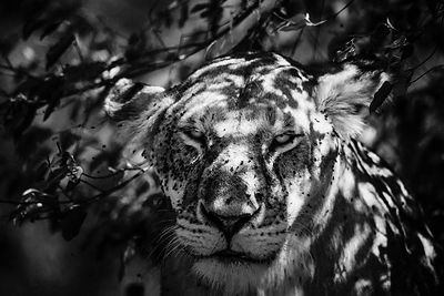 4801-Lioness_with_flies_Laurent_Baheux