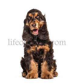 Panting Brown English cocker spaniel dog sitting isolated on white