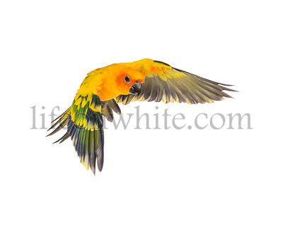 sun parakeet, bird, Aratinga solstitialis, flying, isolated