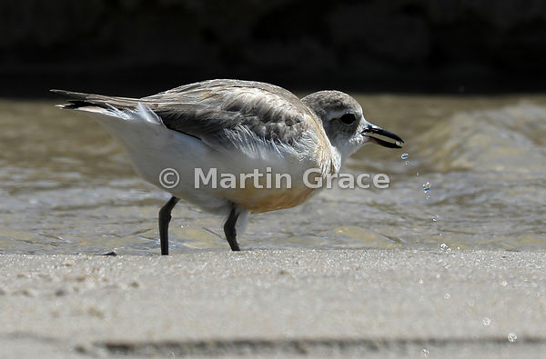 Stream of water droplets falling from the beak of the North Island subspecies of New Zealand Dotterel (Charadrius obscurus aq...