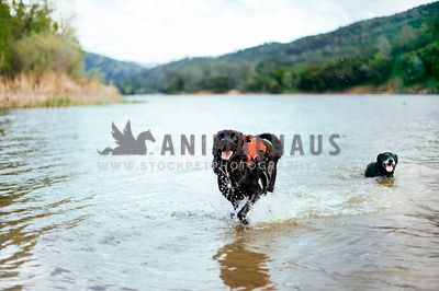 A large back dog in a harness is happily running in the lake