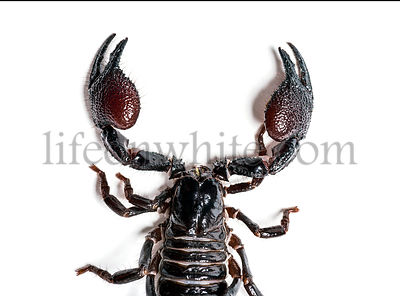 Emperor scorpion, Pandinus imperator, overhead view, in front of white background