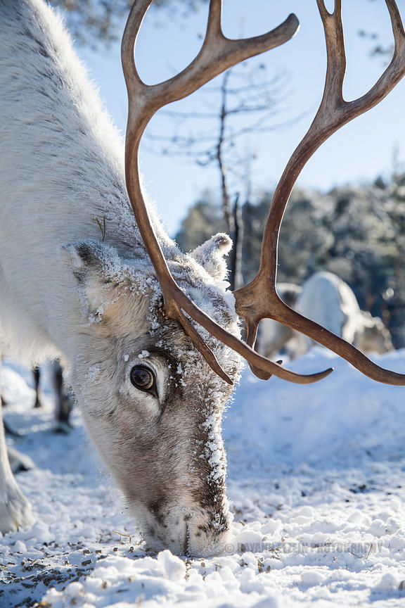Reindeer eating pellets