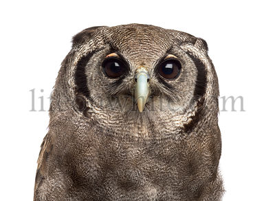 Close-up of a Verreaux\'s eagle-owl - Bubo lacteus (3 years old) in front of a white background