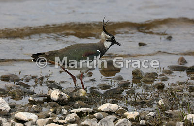 Northern Lapwing standing in water to feed, Lochindorb, Scottish Highlands