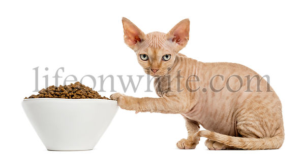 Devon rex eating from a white bowl isolated on white