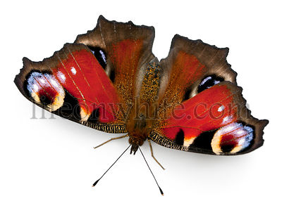 European Peacock butterfly, Inachis io, in front of white background