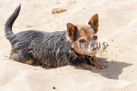 Small Terrier Mix covered in Sand aying on Beach