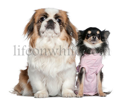 Chihuahua and Pekingese, 23 months and 9 months old, sitting