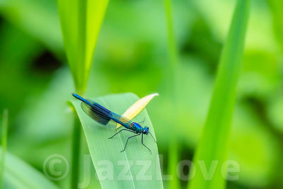 Banded demoiselle, Calopteryx splendens, sitting on leaf.