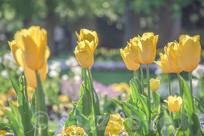 Yellow tulips blossoming in UK park.