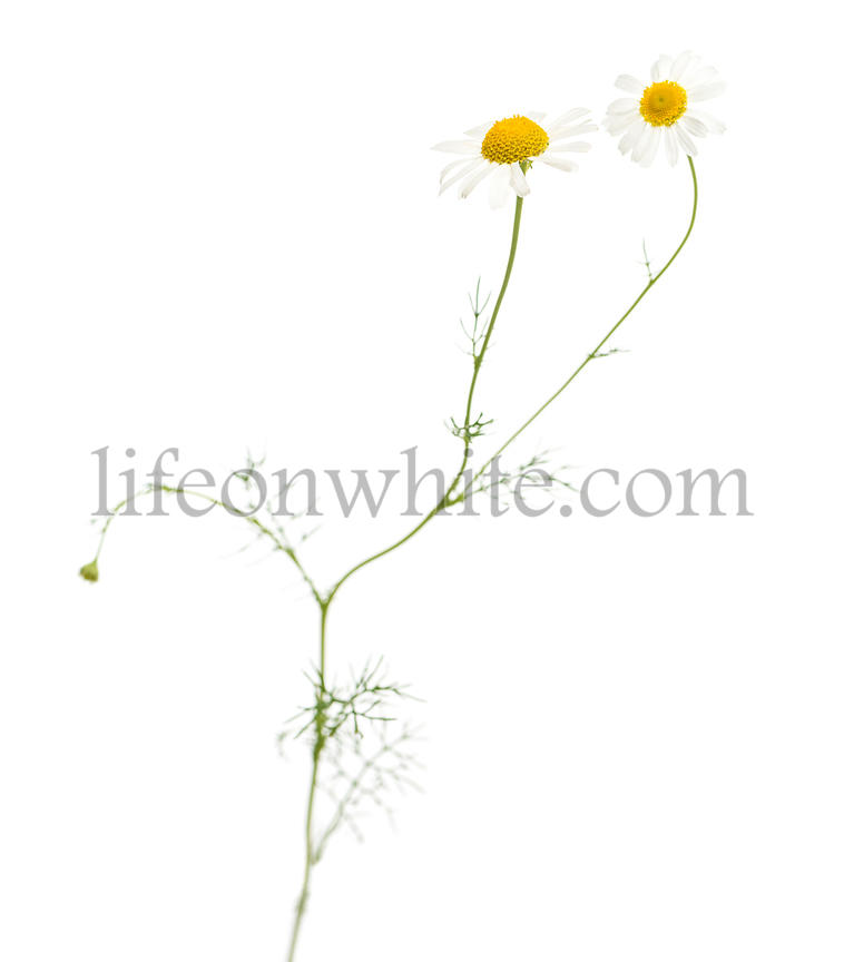 Common daisy, isolated on white