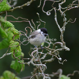 Marsh Tit (Poecile palustris) in a garden Contorted Hazel (Corylus avellana Contorta), Lake District National Park, Cumbria, ...