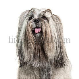 Headshot of a panting Groomed Lhasa apso dog, isolated on white