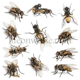 Set of 11 House flies