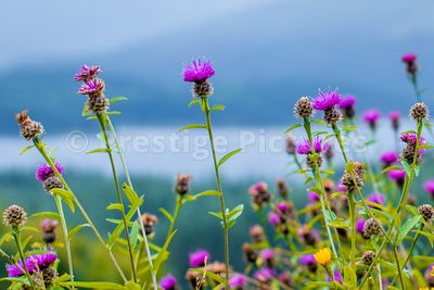 Wild flowers against a background of water and munros